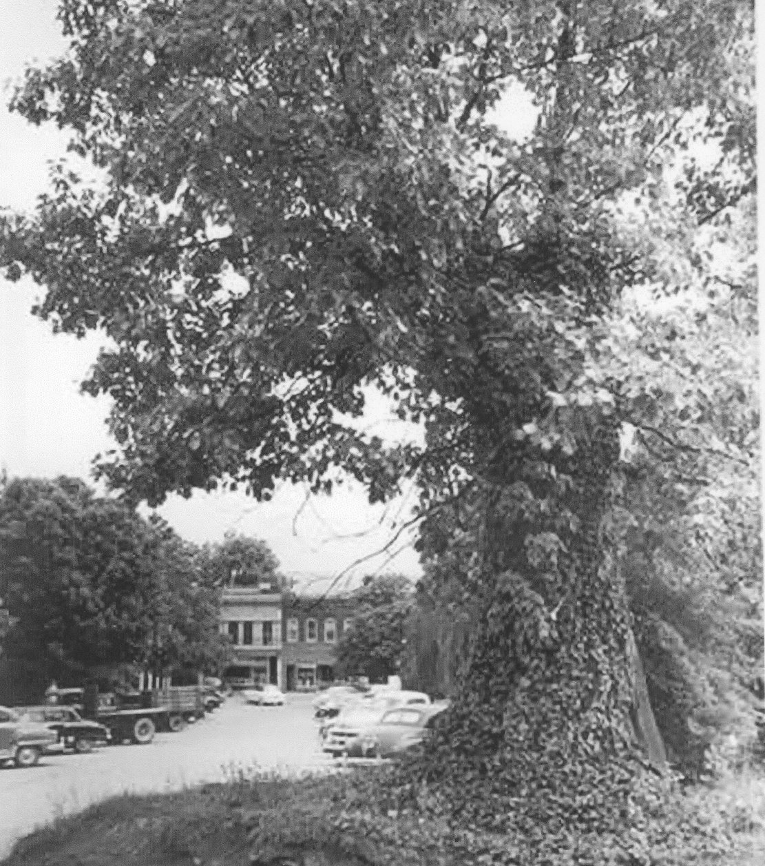 Tory Oak Tree c. 1940s